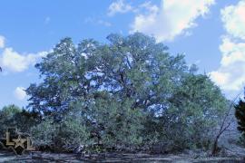 Texas Great Oak